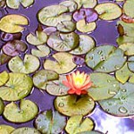 image of a community of lilies in a pond